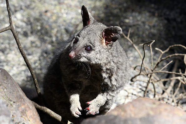 Animal「Residents Visit Homes Destroyed By Bush fires In Perth Hills」:写真・画像(0)[壁紙.com]