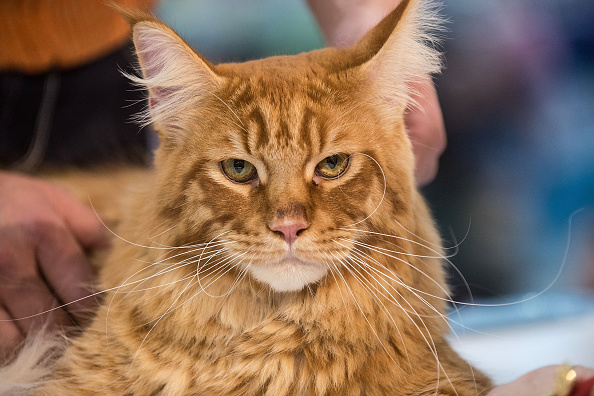 動物「2014 Super Cat Show Held In Rome」:写真・画像(7)[壁紙.com]