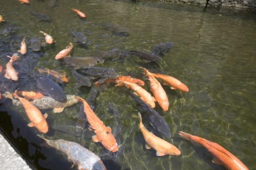Carp「Carps Swimming In River」:スマホ壁紙(7)