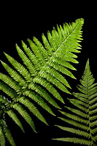 Frond「Dryopteris filix-mas (male fern, male woodfern, malefern)」:スマホ壁紙(7)