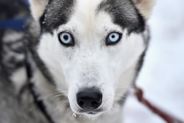犬「The UK Siberian Husky Dog Club Prepare For The Aviemore Annual Sled Dog Rally」:写真・画像(10)[壁紙.com]