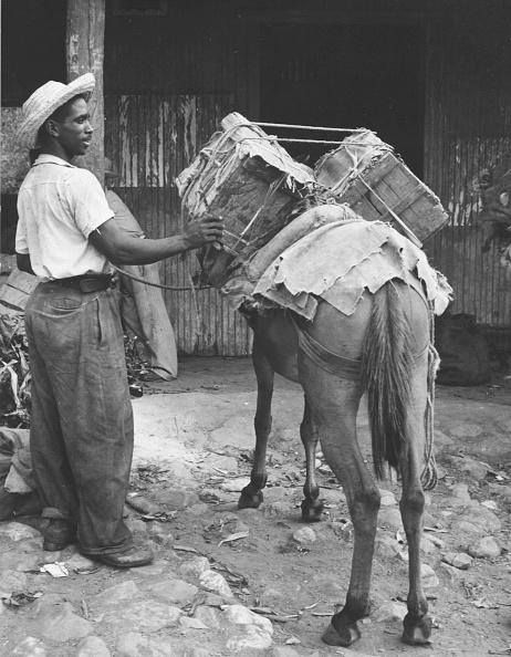 Working Animal「Cuban Packhorse」:写真・画像(8)[壁紙.com]