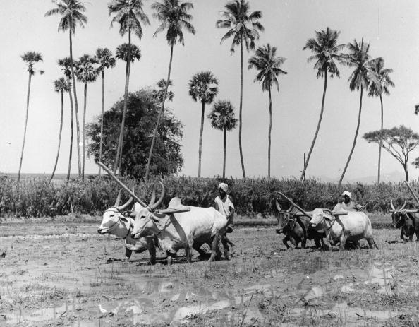 Ox Cart「In Rice Field」:写真・画像(16)[壁紙.com]