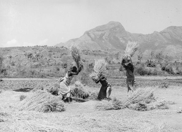 Agriculture「Harvesting Rice」:写真・画像(2)[壁紙.com]