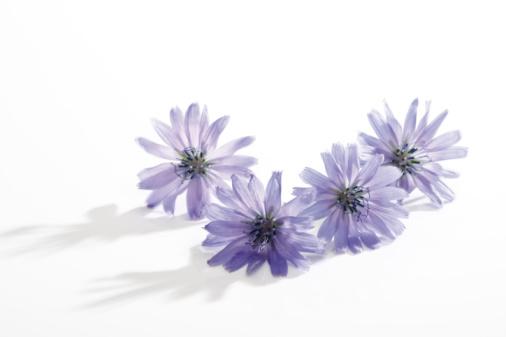 Wildflower「Chicory flower」:スマホ壁紙(4)