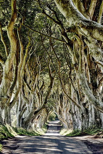 Fagaceae「The Dark Hedges From The Game Of Thrones Television Series, Beech Trees Along A Road」:スマホ壁紙(1)
