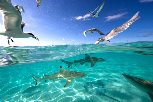 Seagull「Feeding frenzy with birds, rays and black tip sharks, Tahiti, French Polynesia」:スマホ壁紙(4)