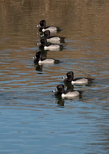 Birds「A line of ring-necked ducks swimming on pond.」:スマホ壁紙(10)