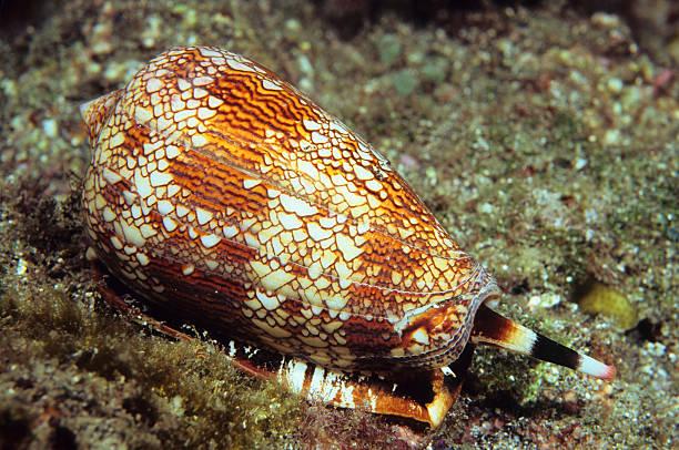 Textile Cone Shell:スマホ壁紙(壁紙.com)
