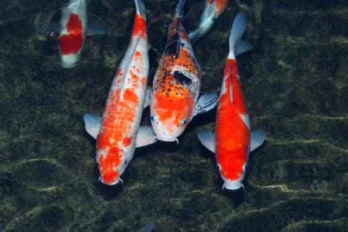 Carp「Koi carp (Cyprinus carpo) in pond, close-up」:スマホ壁紙(7)