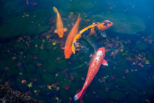 Carp「koi carp in a pond」:スマホ壁紙(8)