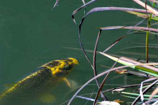 Carp「Koi carp in pond, elevated view」:スマホ壁紙(17)