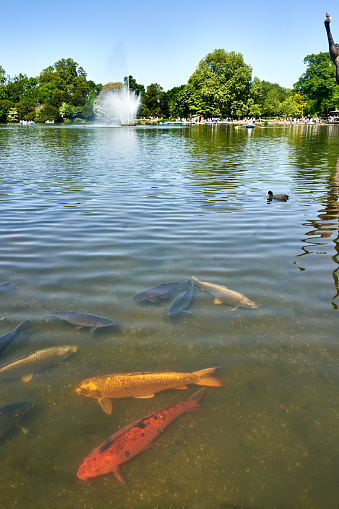 Carp「Koi Carp in the lake at Victoria Park in East London, UK」:スマホ壁紙(3)