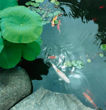 Carp「Koi Carp in Pond」:スマホ壁紙(3)