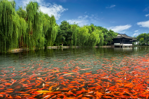 Carp「China, Zhouzhuang, Pool full of Koi fish by monastery」:スマホ壁紙(19)