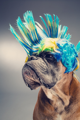 Carnival「Boxer dog with party wig looking left side.」:スマホ壁紙(2)