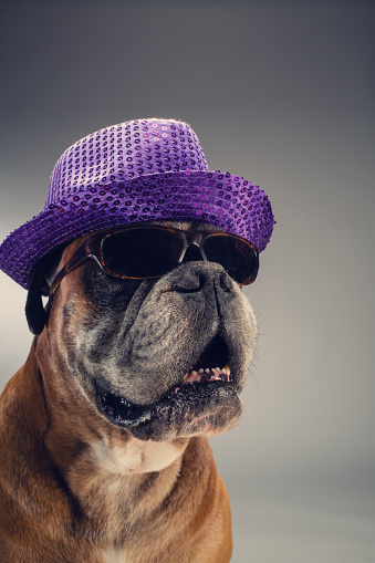 One Animal「Boxer dog with party hat and sunglasses.」:スマホ壁紙(15)