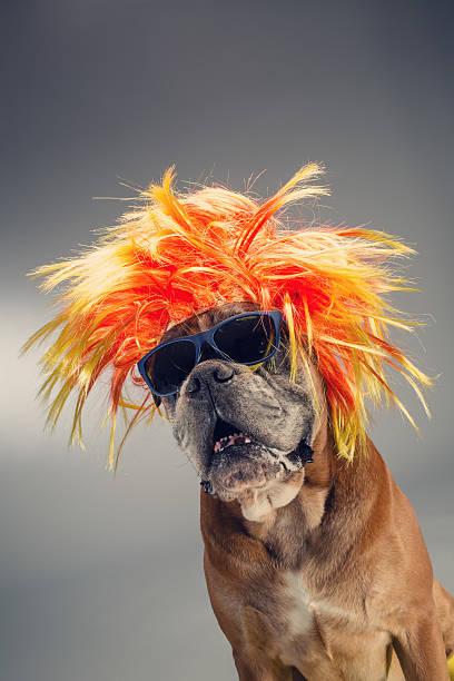 Boxer dog wearing wig and sunglasses.:スマホ壁紙(壁紙.com)