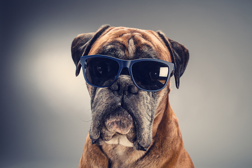 動物・ペット「Boxer dog with sunglasses looking ahead.」:スマホ壁紙(13)