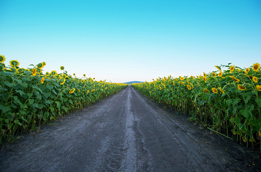 sunflower「Beauty sunset over sunflowers field in China」:スマホ壁紙(9)
