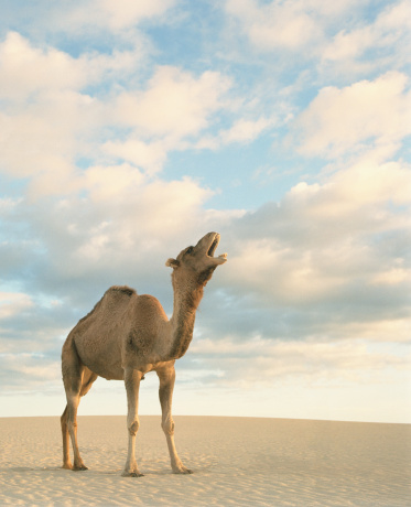 Marketing「Dromedary camel (Camelus dromedarius) calling in desert」:スマホ壁紙(1)