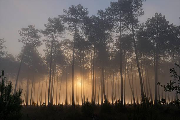 France, Aquitaine, Landes, Pine forest in the morning light:スマホ壁紙(壁紙.com)