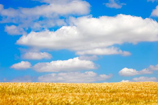 月「Grain field in summer」:スマホ壁紙(6)