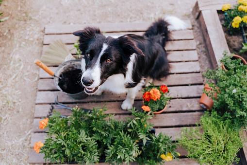 Gardening「Border collie sitting by plants on wood in vegetable garden」:スマホ壁紙(4)
