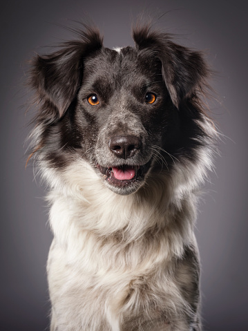 Female Animal「Border Collie Blue Heeler Mix Dog」:スマホ壁紙(13)