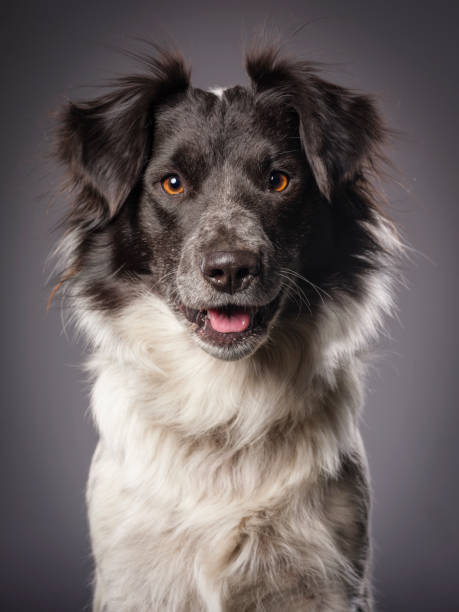 Border Collie Blue Heeler Mix Dog:スマホ壁紙(壁紙.com)