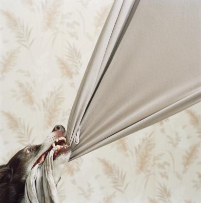 Border Collie「Border collie pulling at beige fabric, close-up」:スマホ壁紙(6)