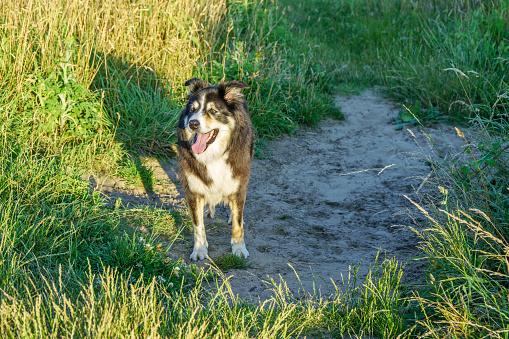 Dog「田舎で実行されているボーダーコリー」:スマホ壁紙(5)