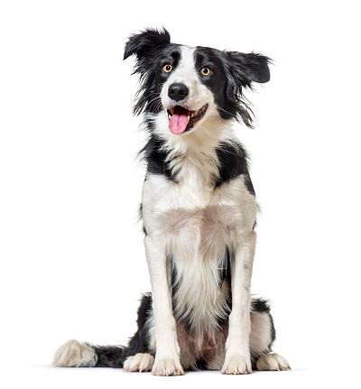 Full Length「Border Collie sitting, panting, (1 year old) isolated on white」:スマホ壁紙(12)