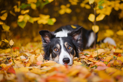 Baby animal「Border Collie and autumn colors」:スマホ壁紙(11)