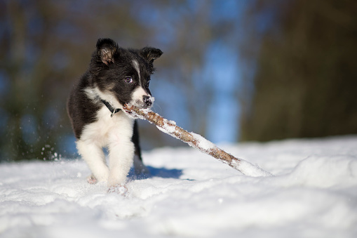 Playing「Border Collie puppy playing with wood stick in snow」:スマホ壁紙(2)