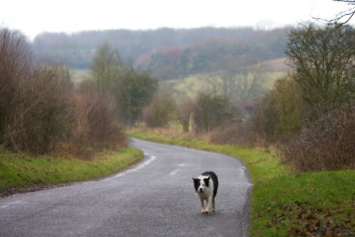 Lost「Border Collie Dog In Country Lane, UK」:スマホ壁紙(5)