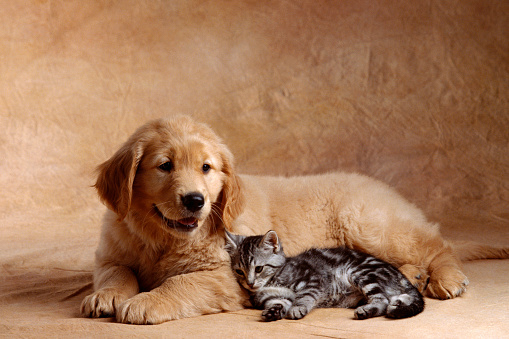 Mammal「Kitten Leaning Against Golden Retriever Puppy」:スマホ壁紙(6)