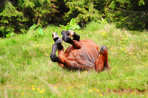 Horse「Ukraine, Ivano-Frankivsk region, Verkhovyna district, Carpathians, Chernohora, Horse rolling on back in mountain pasture」:スマホ壁紙(18)