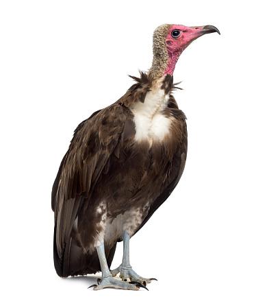 Belgium「Hooded vulture isolated on white」:スマホ壁紙(12)