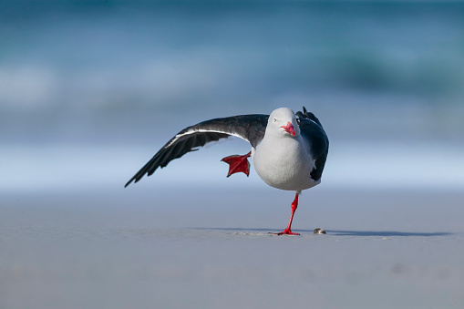 Falkland Islands「Dolphin gull (Larus scoresbii) stretching. Falkland Islands, South Atlantic」:スマホ壁紙(12)