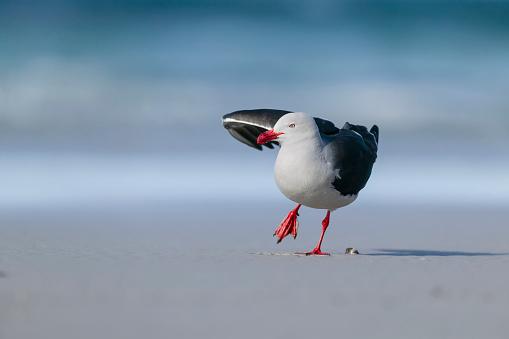 Falkland Islands「Dolphin gull (Larus scoresbii) stretching. Falkland Islands, South Atlantic」:スマホ壁紙(8)