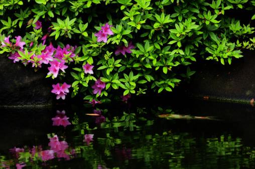 Carp「Azalea Blossoms Over Pond Withy Carps」:スマホ壁紙(17)