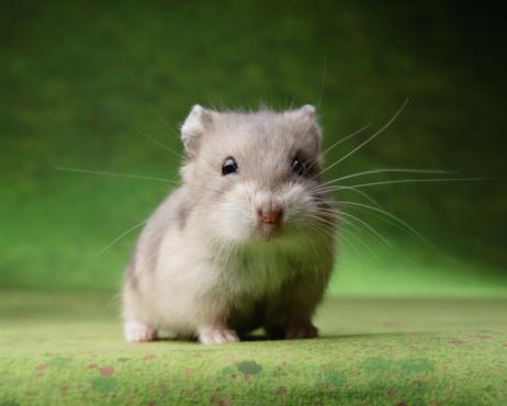 Animal Whisker「Hamster on Green Background」:スマホ壁紙(17)