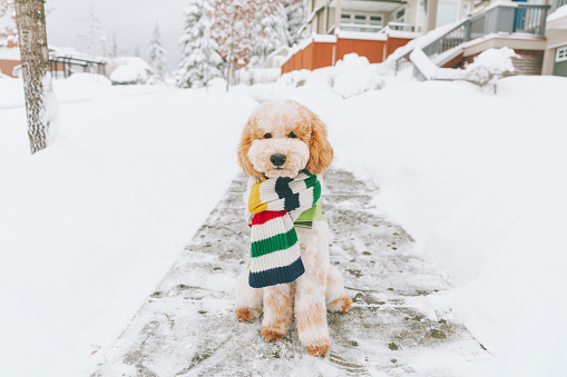 Sweater「Toy dog with striped scarf sitting on snow-covered pavement, Vancouver, Canada」:スマホ壁紙(3)