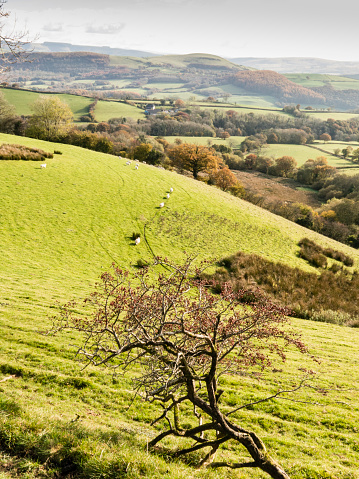Hawthorn「Hawthorne tree in berry above the Towy Valley. The Cambrian Way, Wales, UK」:スマホ壁紙(4)