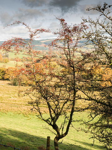 Hawthorn「Hawthorne tree in berry above the Towy Valley. The Cambrian Way, Wales, UK」:スマホ壁紙(3)