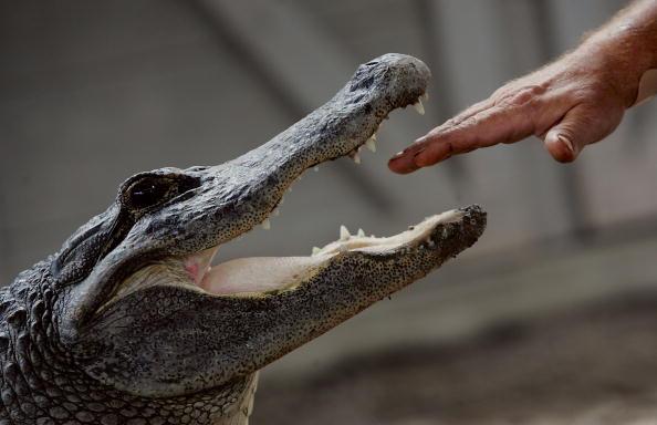 Hand「Fatal Alligator Attacks Set New Record In Florida」:写真・画像(17)[壁紙.com]