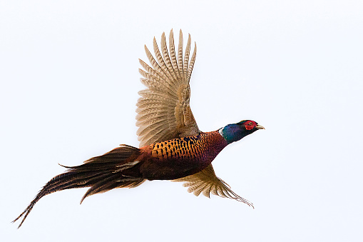Bird「Flying Rooster Pheasant isolated on white  (Phasianus colchicus)」:スマホ壁紙(1)