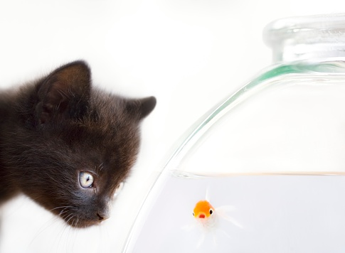 Kitten「Black Kitten Staring at Goldfish in Fishbowl」:スマホ壁紙(11)