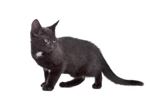 黒猫「black kitten」:スマホ壁紙(3)